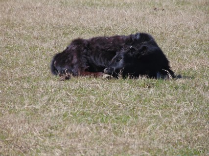 Gordon, the Dexter bull, rest fully in the warm temperatures.