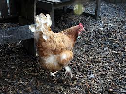 scratch grains for chicken