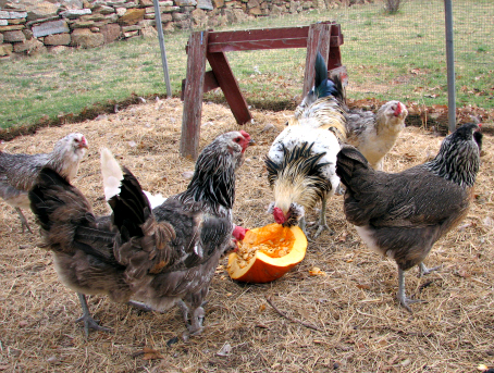 pumpkin as a natural chicken wormer
