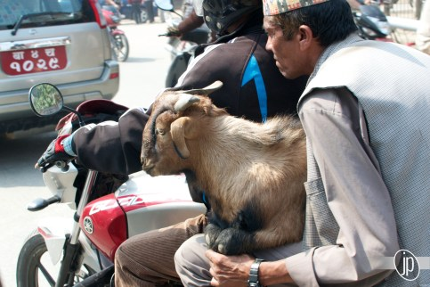 Goat on a Motorcycle!