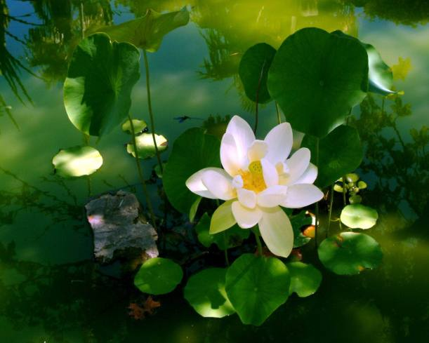 mindfulness-lotus
