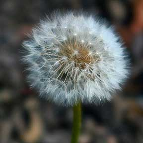 dandelion_flower_03