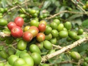 Coffee Berries Ripen in the Sun