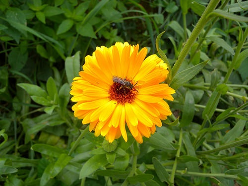 calendula with bee