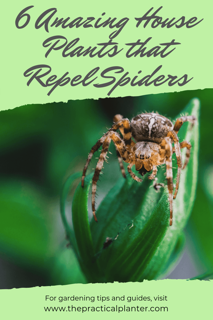 6 Amazing House Plants that Repel Spiders - The Practical ...
