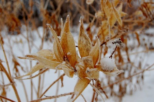 Butterfly weed seed pods (1024x679)