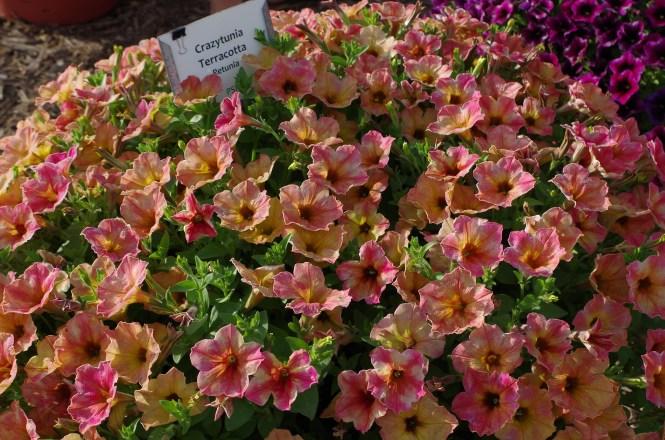 Crazytunia Terracotta Petunia
