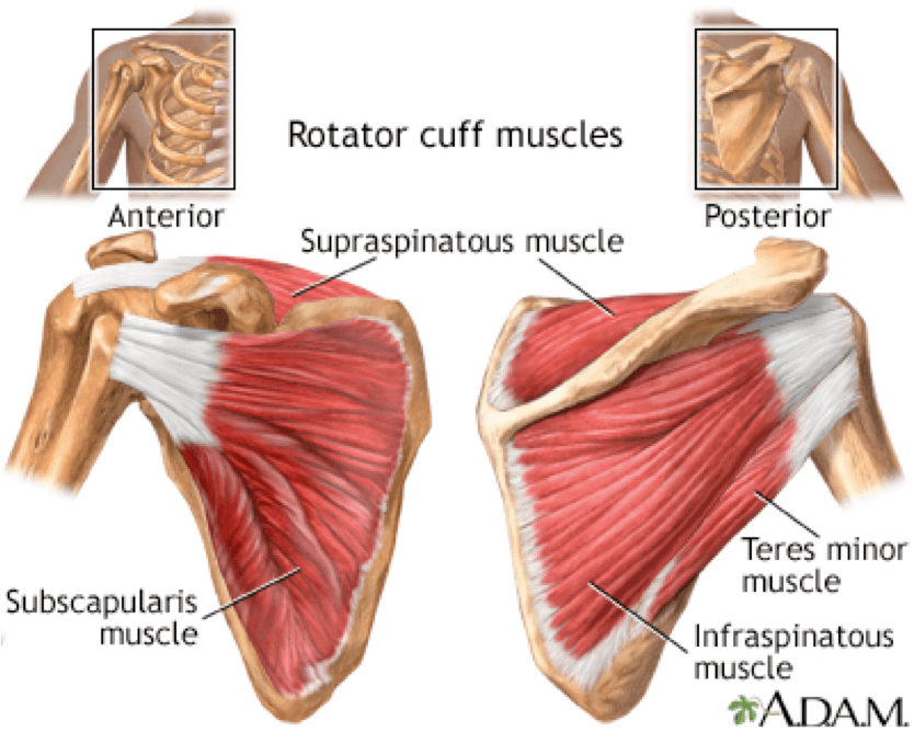 What is the Rotator Cuff and Why It\'s Important to Shoulder Health