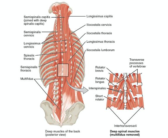 core muscle anatomy the prehab guys