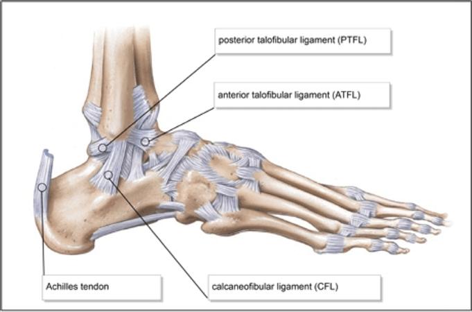 ankle sprain rehab anatomy