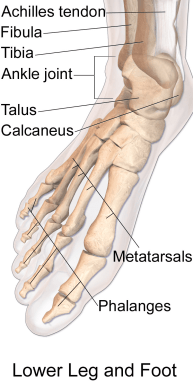 ankle anatomy unlock ankle mobility the prehab guys