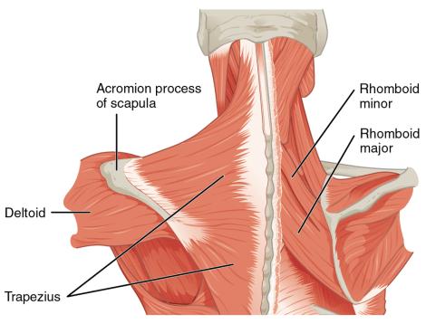 rhomboid anatomy fix rhomboid pain the prehab guys