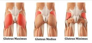 glute muscle anatomy prehab guys
