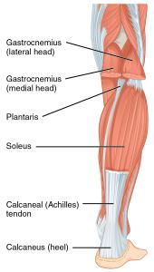 calf muscles anatomy how to rehab calf strains the prehab guys