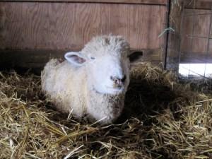 A Sick Ewe