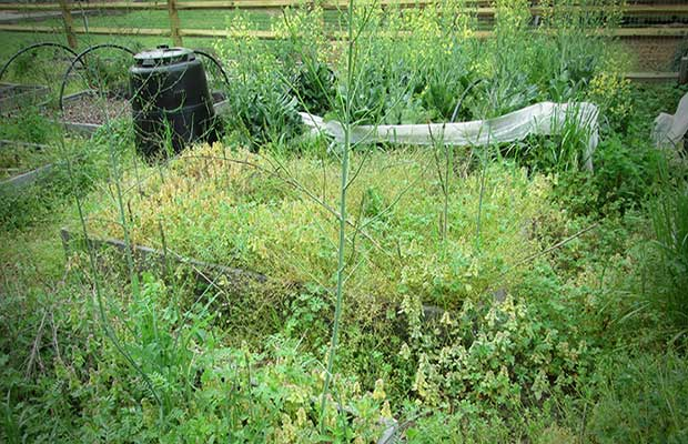 """With so many Americans growing vegetable gardens for the first time, I thought it apropos to write a post concerning the one culprit that has caused my husband and I to want to throw up our hands in surrender. I am not speaking of rodents, varmints, or hungry neighbors. This enemy is fierce. This foe is the common weed. An opponent like no other, one that will take over and suffocate your tomatoes while you go on vacation, one that grows faster than you can pull it from the ground. If you dig up uncultivated ground in hopes of being self-sufficient, be prepared or this rival will defeat you before you can say """"cucumber sandwich"""". Our family has fought the good fight for many years and learned from our mistakes and I want share what we have learned the hard way in hopes of saving fellow Preppers of an empty wallet and an aching back."""