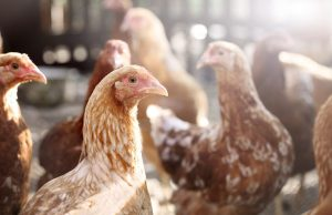 Chickens May Be a Risky Option for Preppers