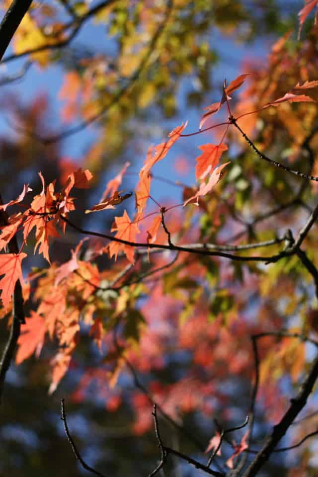 red autumn leaves