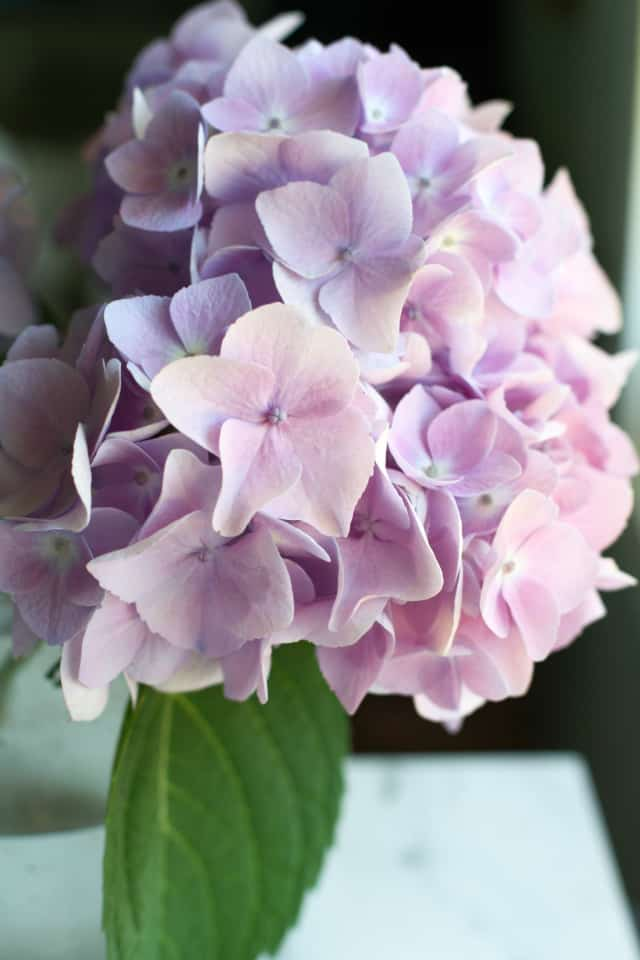 Endless summer hydrangea in lavender.