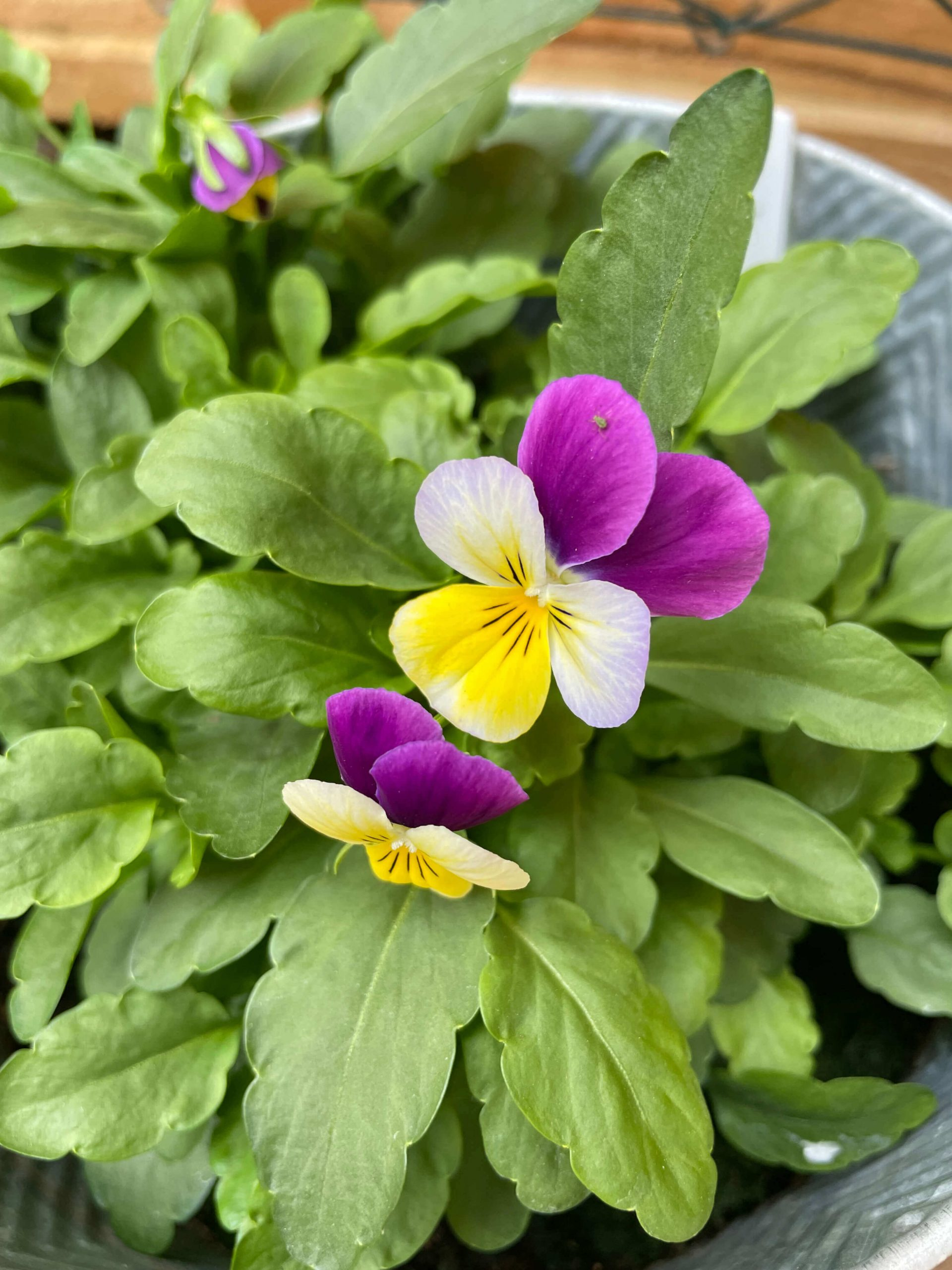 Two white, purple and yellow violas growing out of a lot of greenery