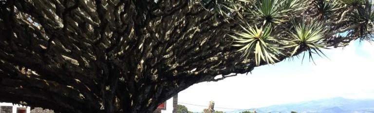 azores holidays dragon tree