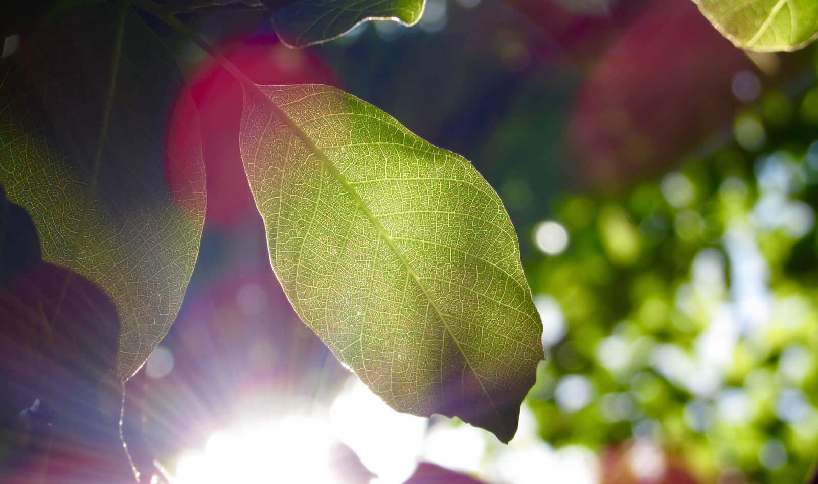 Leaf with sun shining behind