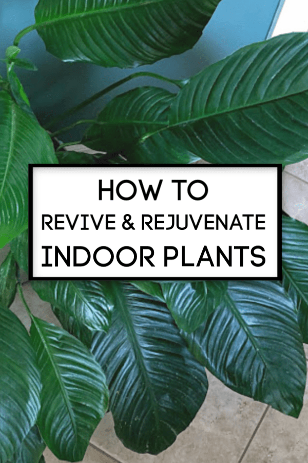How To Revive and Rejuvenate Indoor Plants