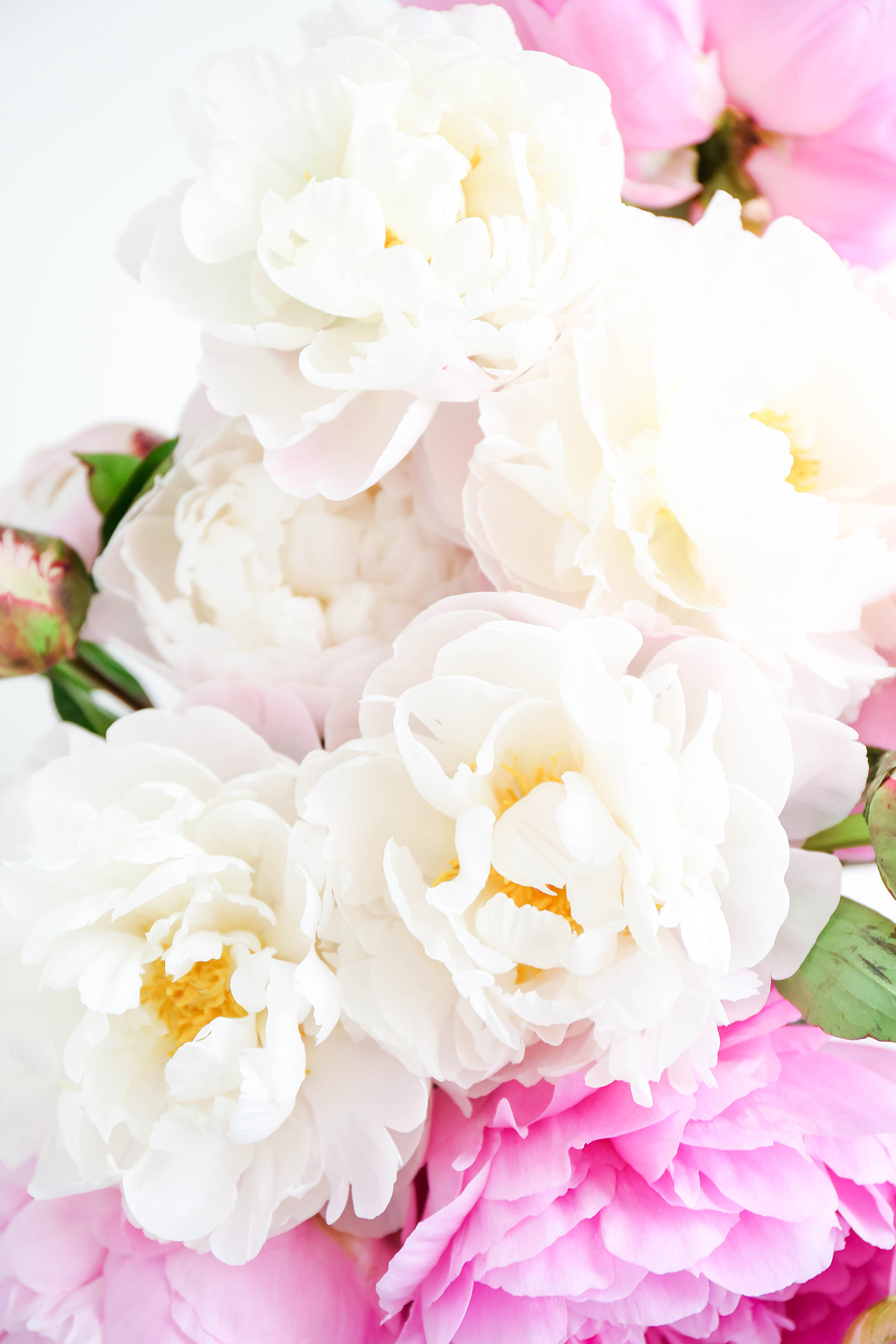 coral peonies wallpapers high - photo #18