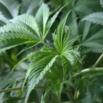 Drug Talk on Effects of Marijuana