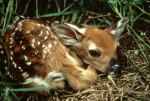 Young Wildlife Do Not Need Your Help: Leave Them Alone