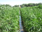 Hemp Production Key Component of Rural Economic Development