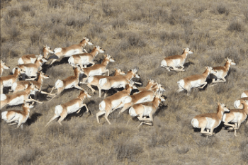 CPW Seeks Public Input on Plan to Manage far Southeast Colorado Pronghorn Herd