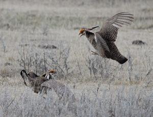 Good News for Lesser Prairie Chicken