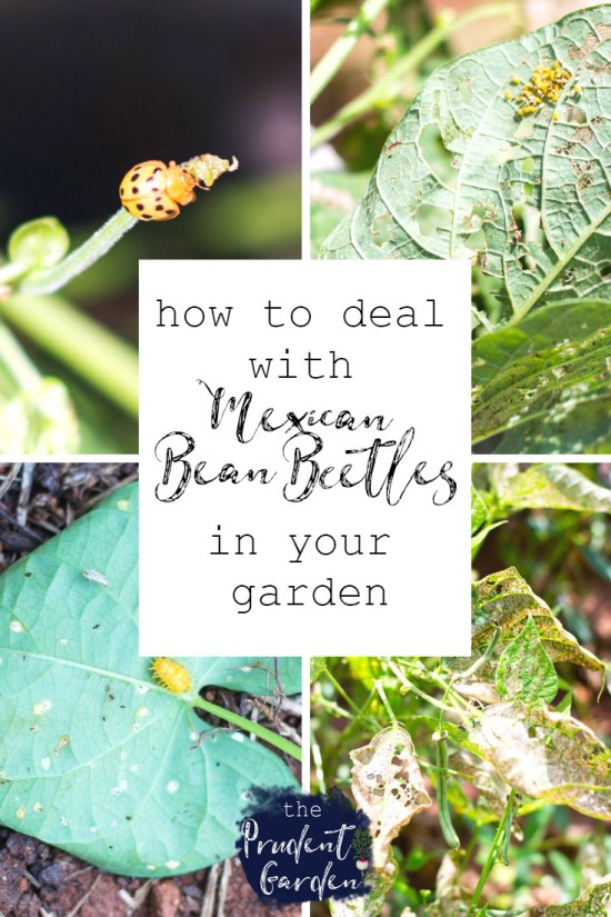 How to Deal with Mexican Bean Beetles in Your Garden