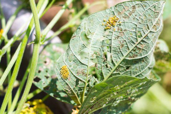 Mexican Bean Beetle Epilachna varivestis eggs