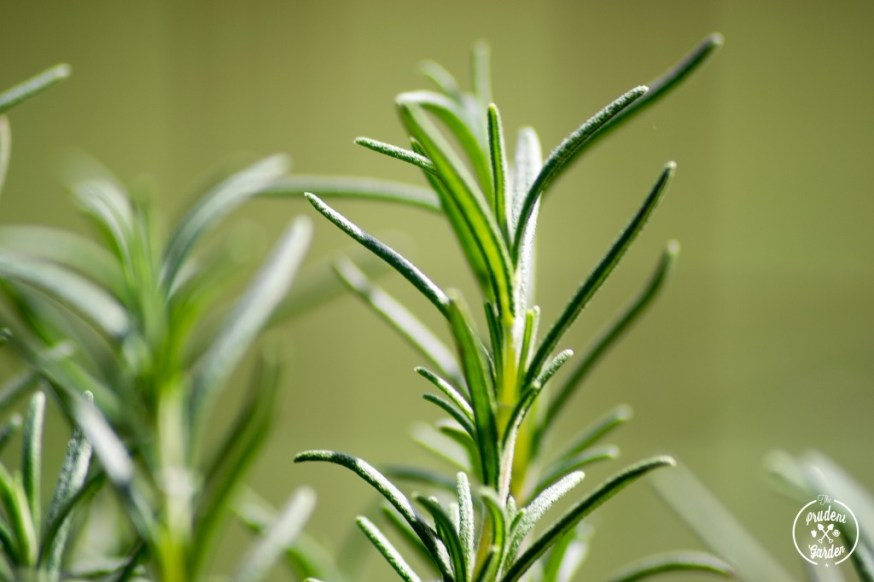 Why You Should Grow Rosemary