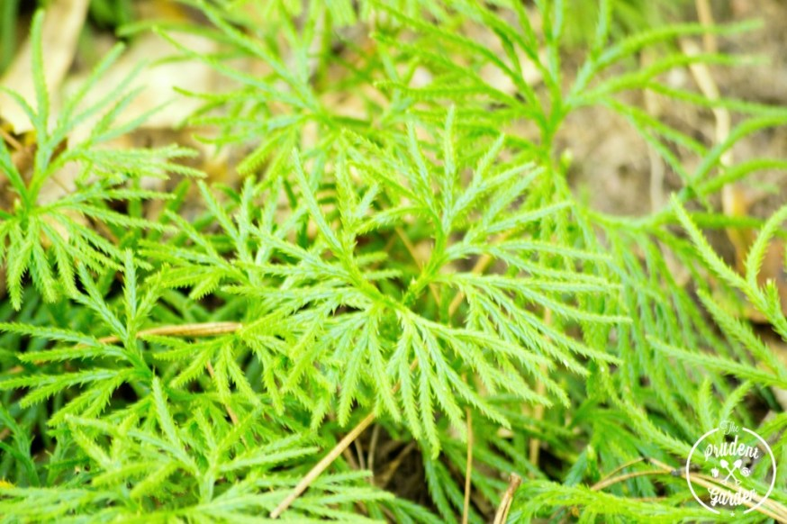 Groundcedar of the Appalachian: Crowsfoot Club Moss
