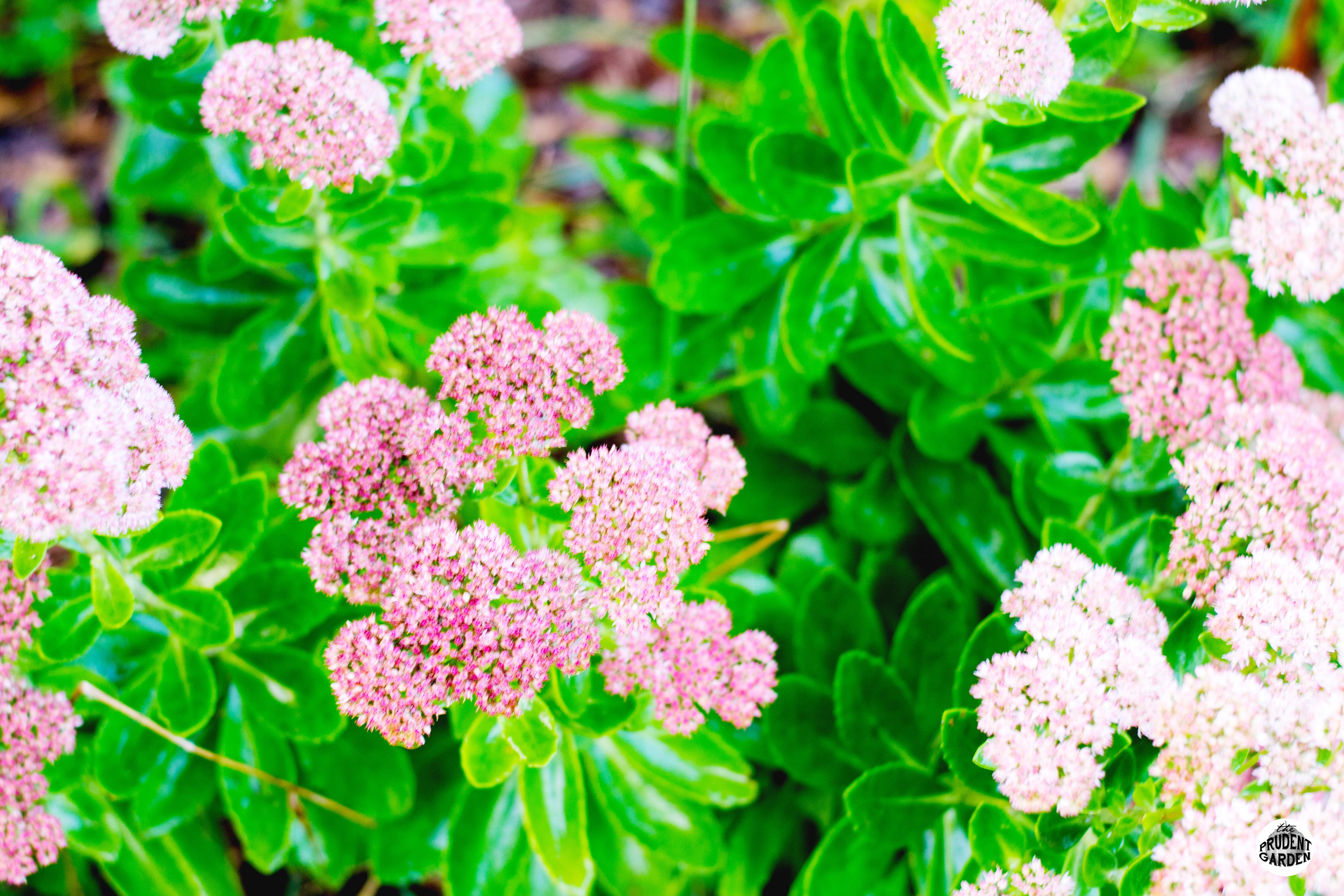 Perennial Feature Autumn Joy Sedum