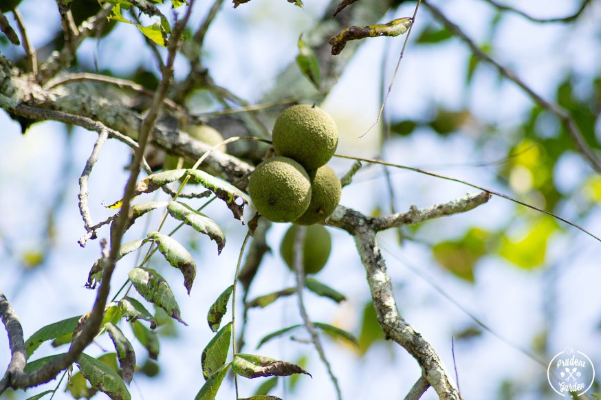 What Everyone Ought to Know About the Eastern Black Walnut