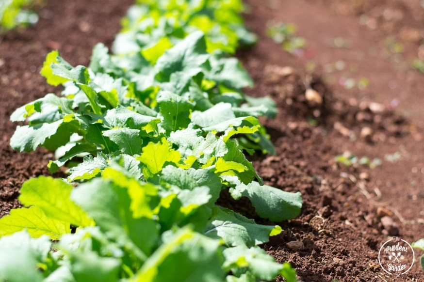 Fall Garden: How to Harvest Baby Greens   Braised Greens Recipe