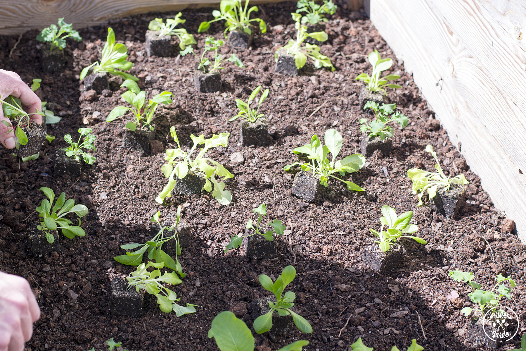 Early Spring Gardening: Planting in a Cold Frame