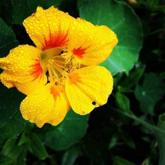 A Field Guide to Nasturtiums