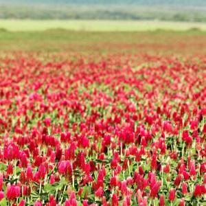Crimson clover covercrop