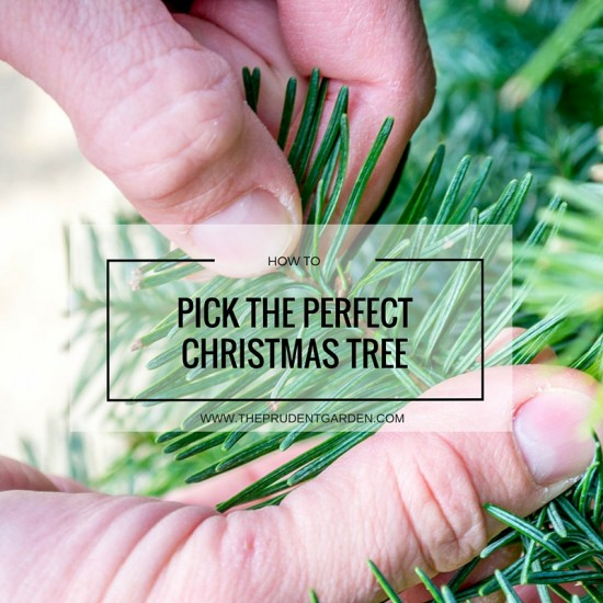 pick the perfect tree with the help of our christmas tree care guide learn how
