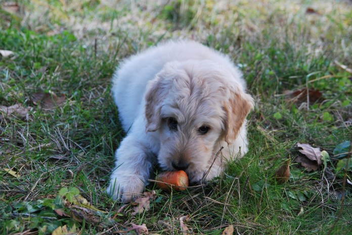 puppy choking - puppy eating a carrot