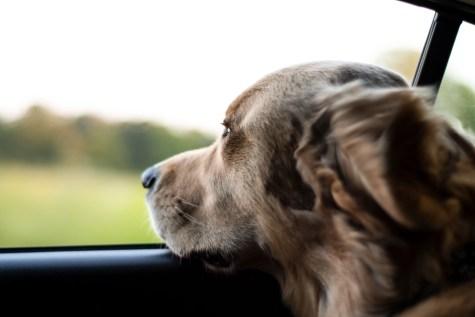 Puppy car safety