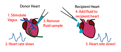 Loewi Heart Experiment