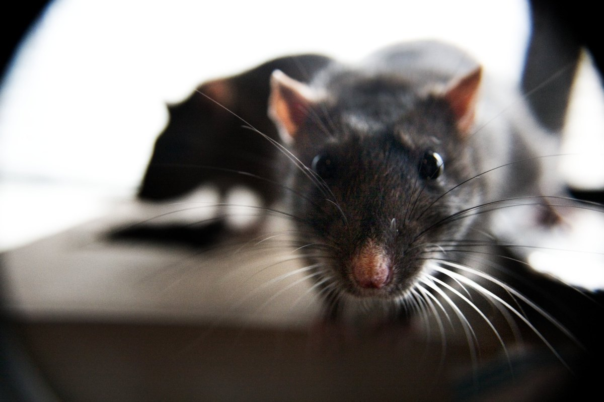 "CDC warns public against ""aggressive"" rats looking for food"