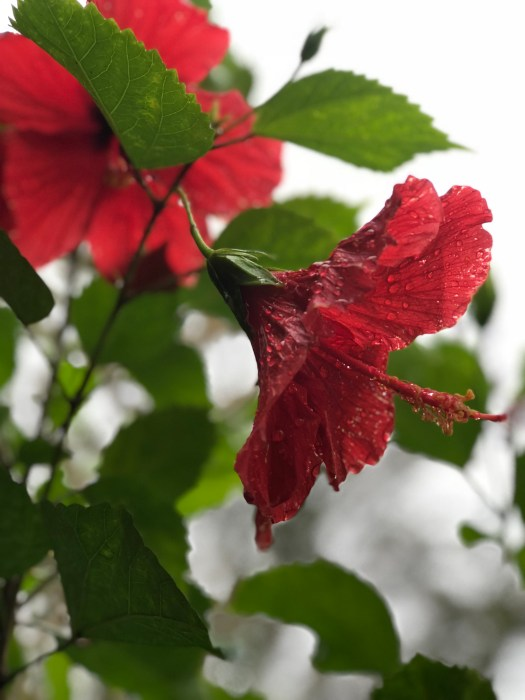 Raindrops on Hibiscus