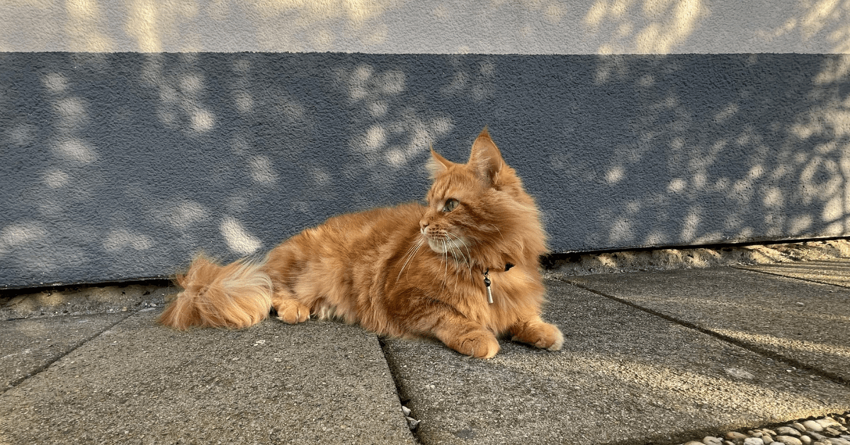 maine coon tabby mix orange
